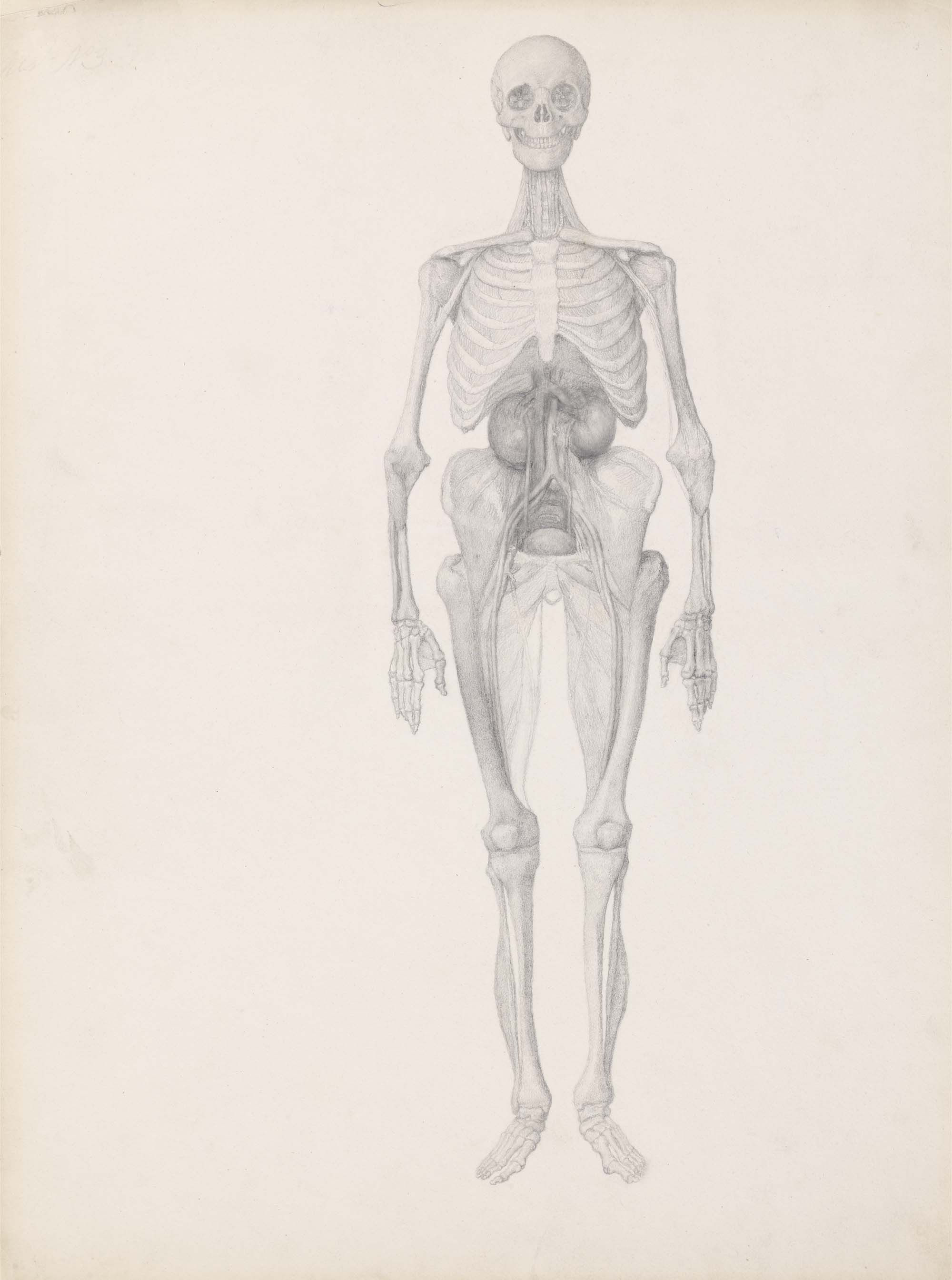 a drawing of a human skeleton