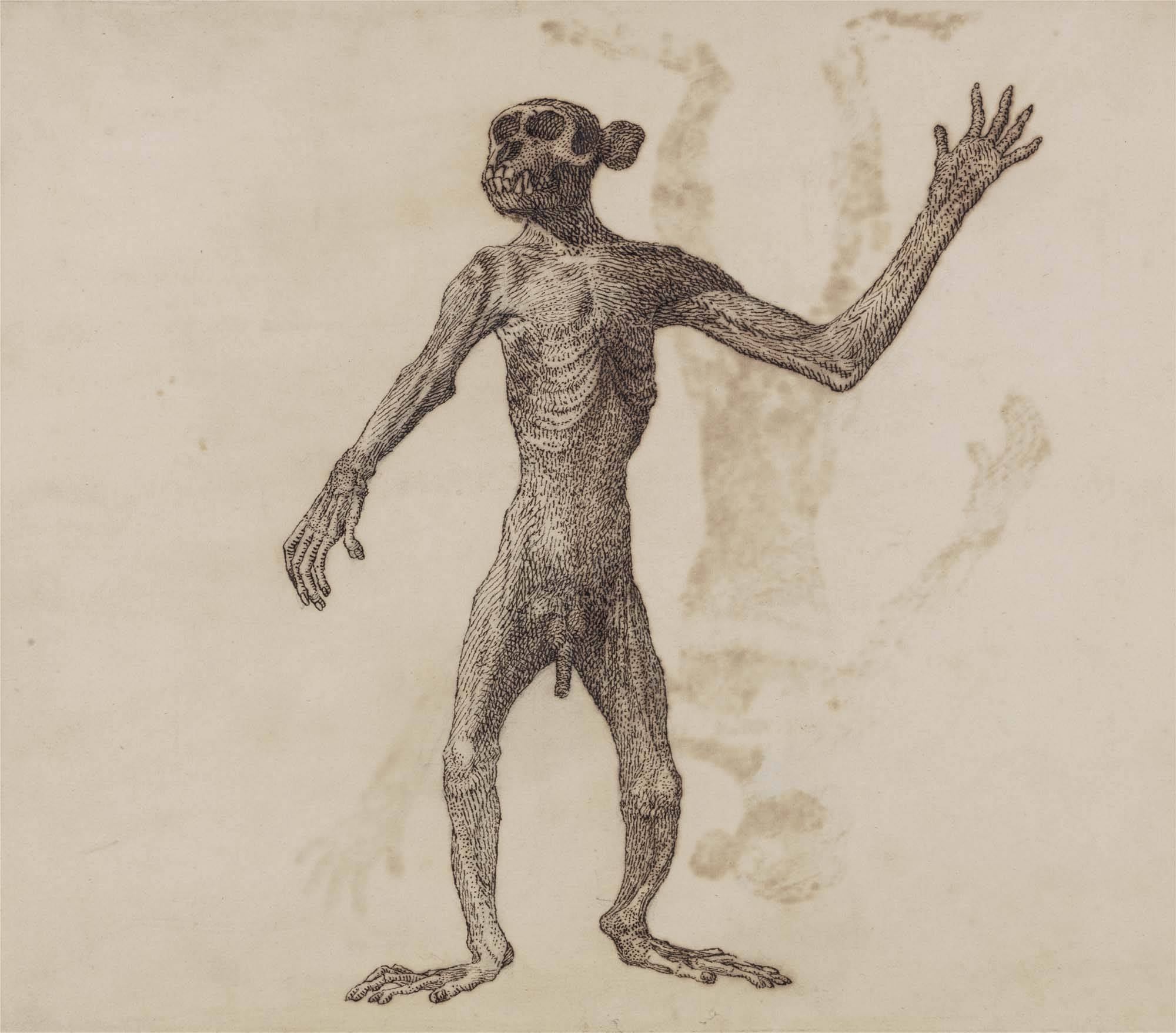 a drawing of a monkey standing in a semi cadaverous state