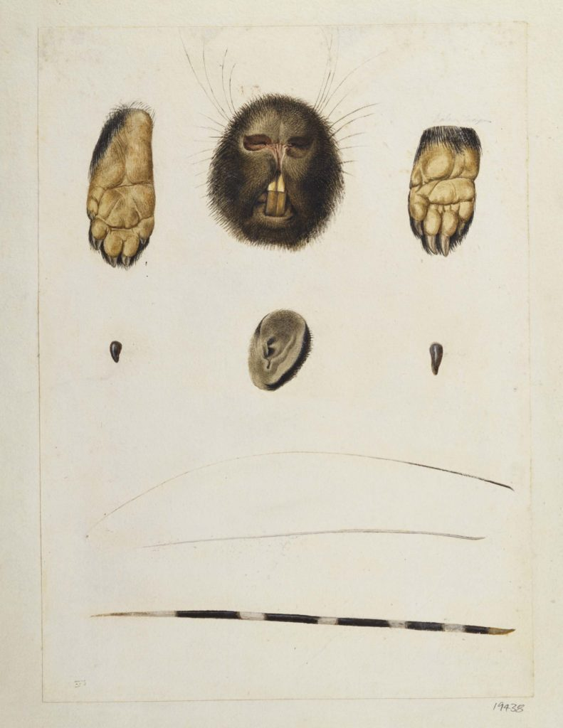 a drawing of the disembodied feet, mouth,ear and quills of a porcupine