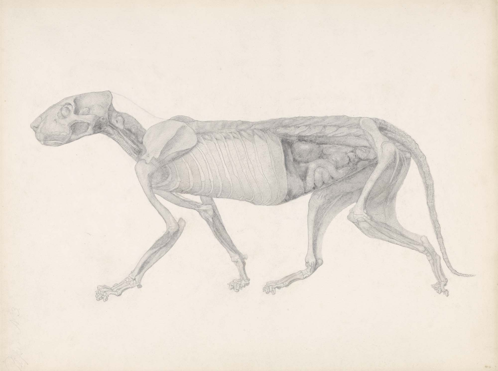 a side view drawing of a tiger showing muscles and organs