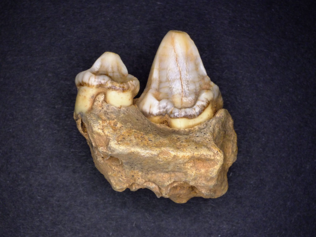 a photo of a tooth fragment