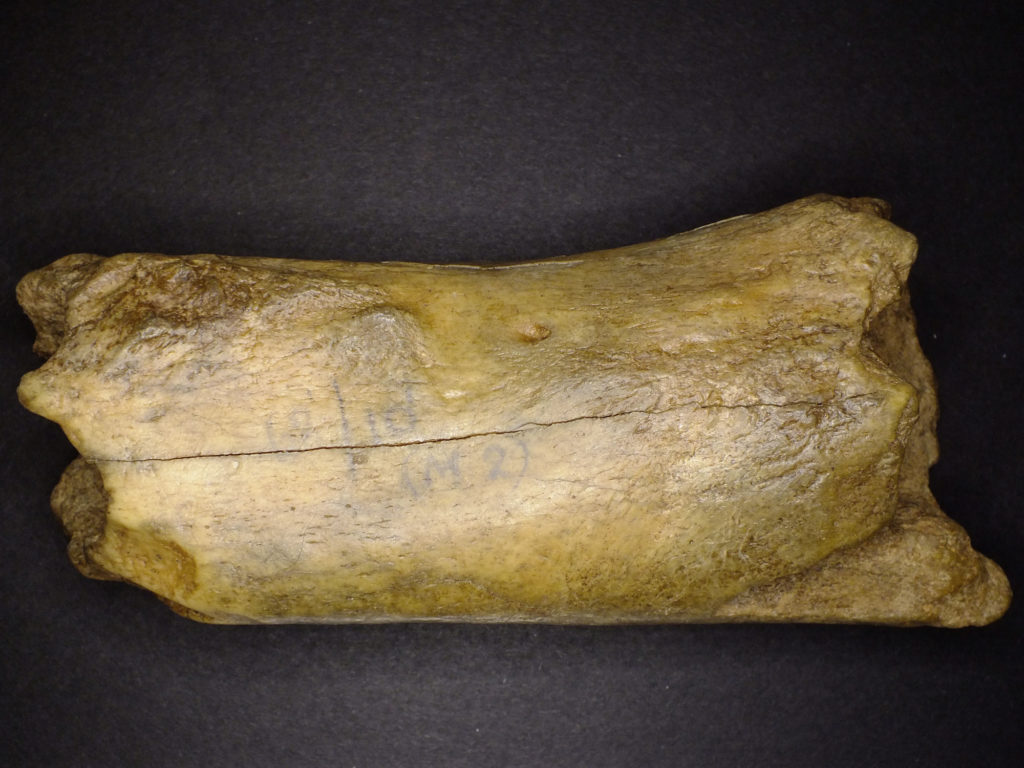 a bone fragment with signs of gnawing on its surface