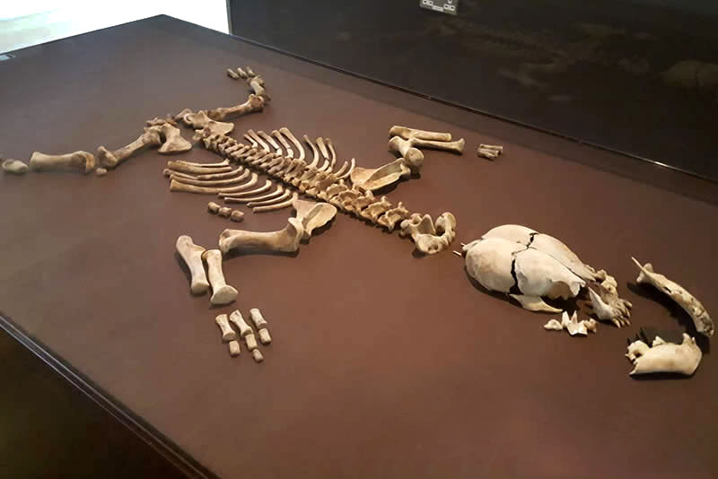 a photo of a small skeleton of an hyena laid out in a display case