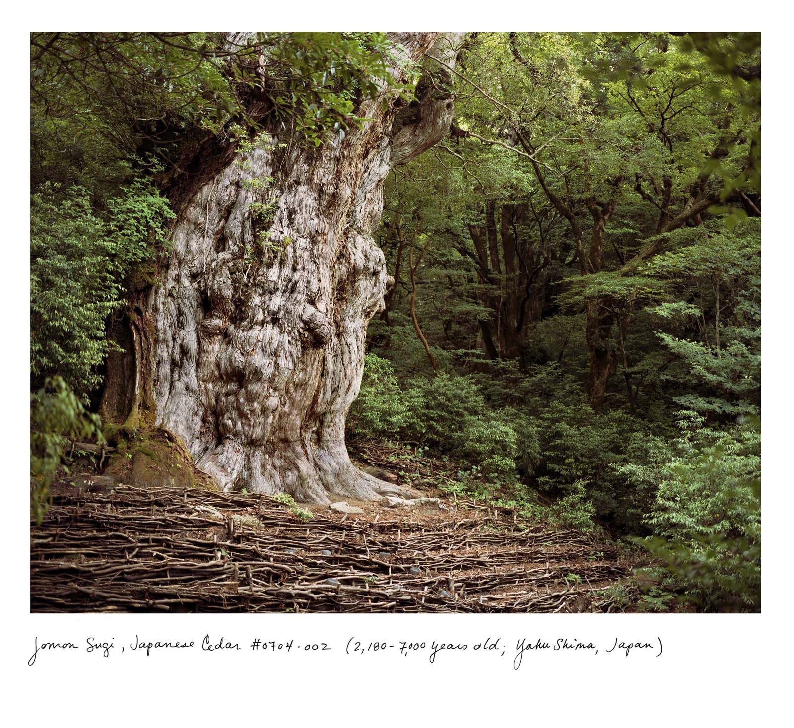 a photo of a tree with a large trunk