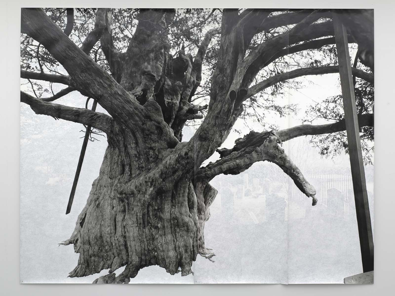 a black and white photo of a big, very old yew tree