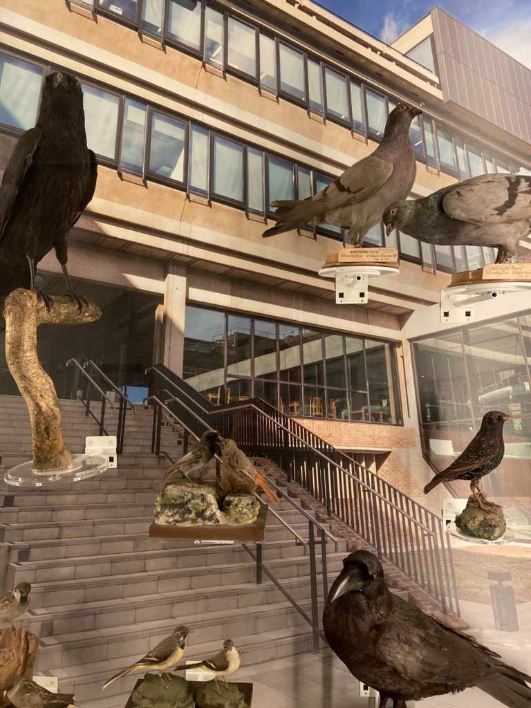 a photo of a group of common British birds taxidermied and displayed in acase with a concrete office building behind them