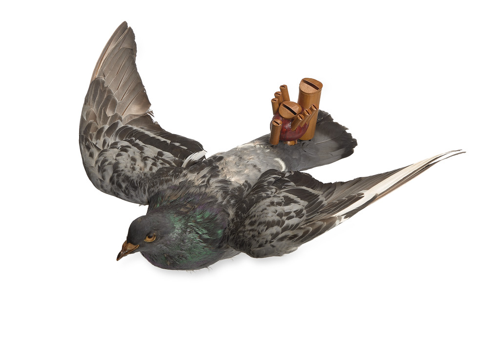 taxidermied pigeon with whitle attached to tail feathers