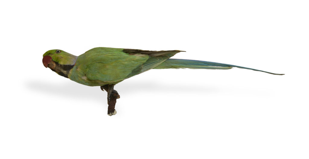 taxidermied rose-ringed parakeet