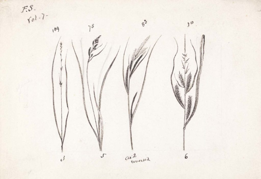 an ink sketch of four grasses
