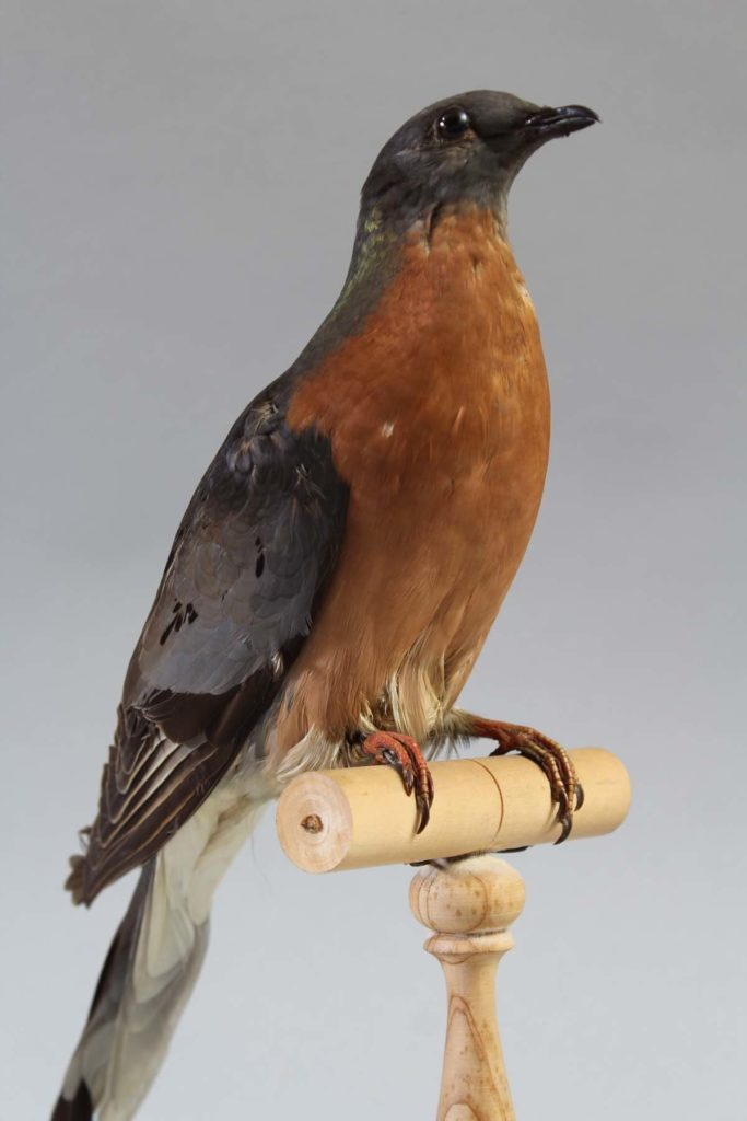 photo of a taxidermied pigeon with a russet breast