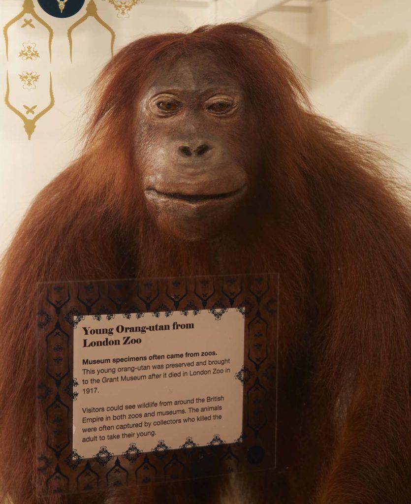 photo of a stuffed orangutan in a case