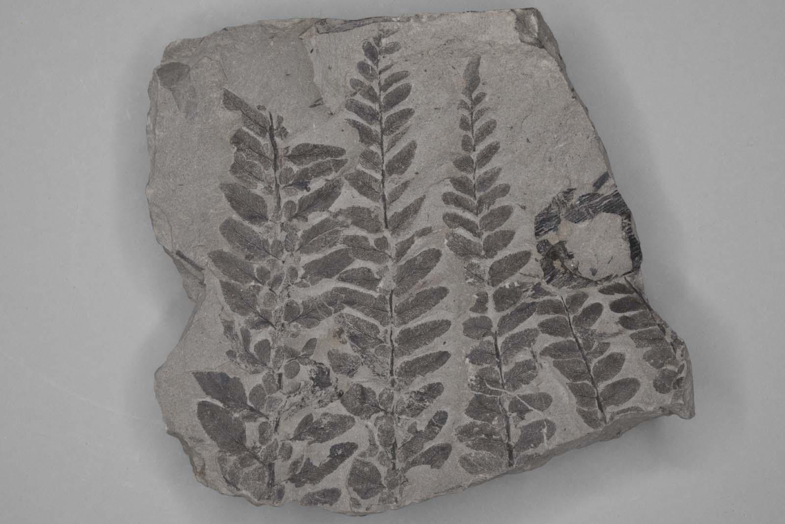 fern like plant fossil