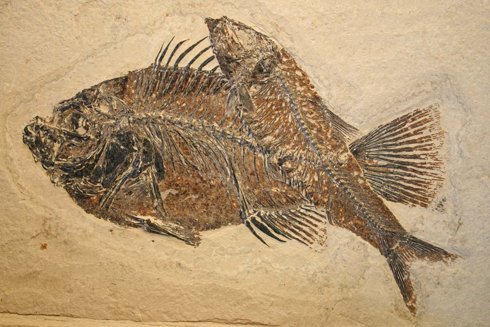 photo of fossils of two fish