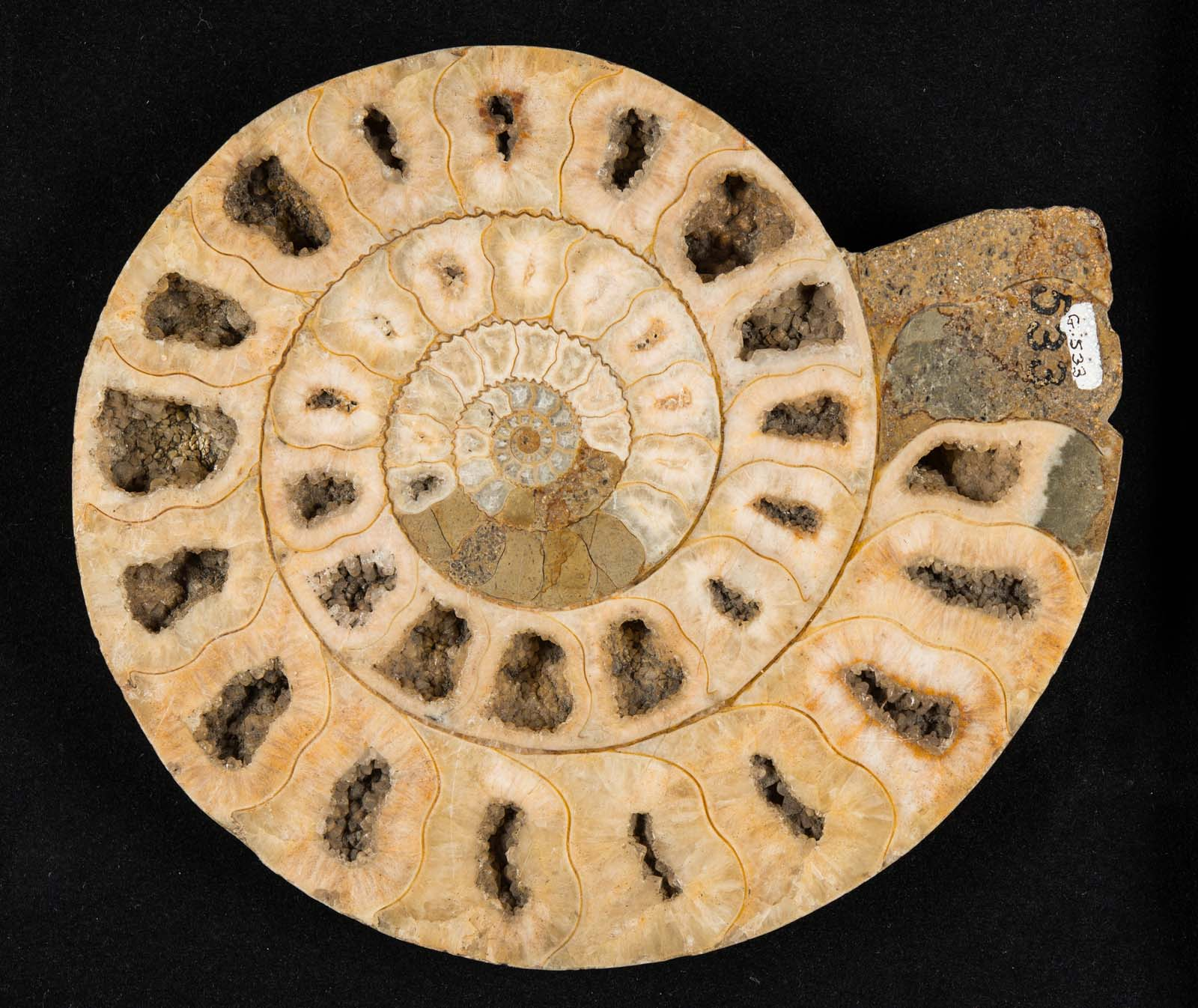 photo of an ammonite fossil