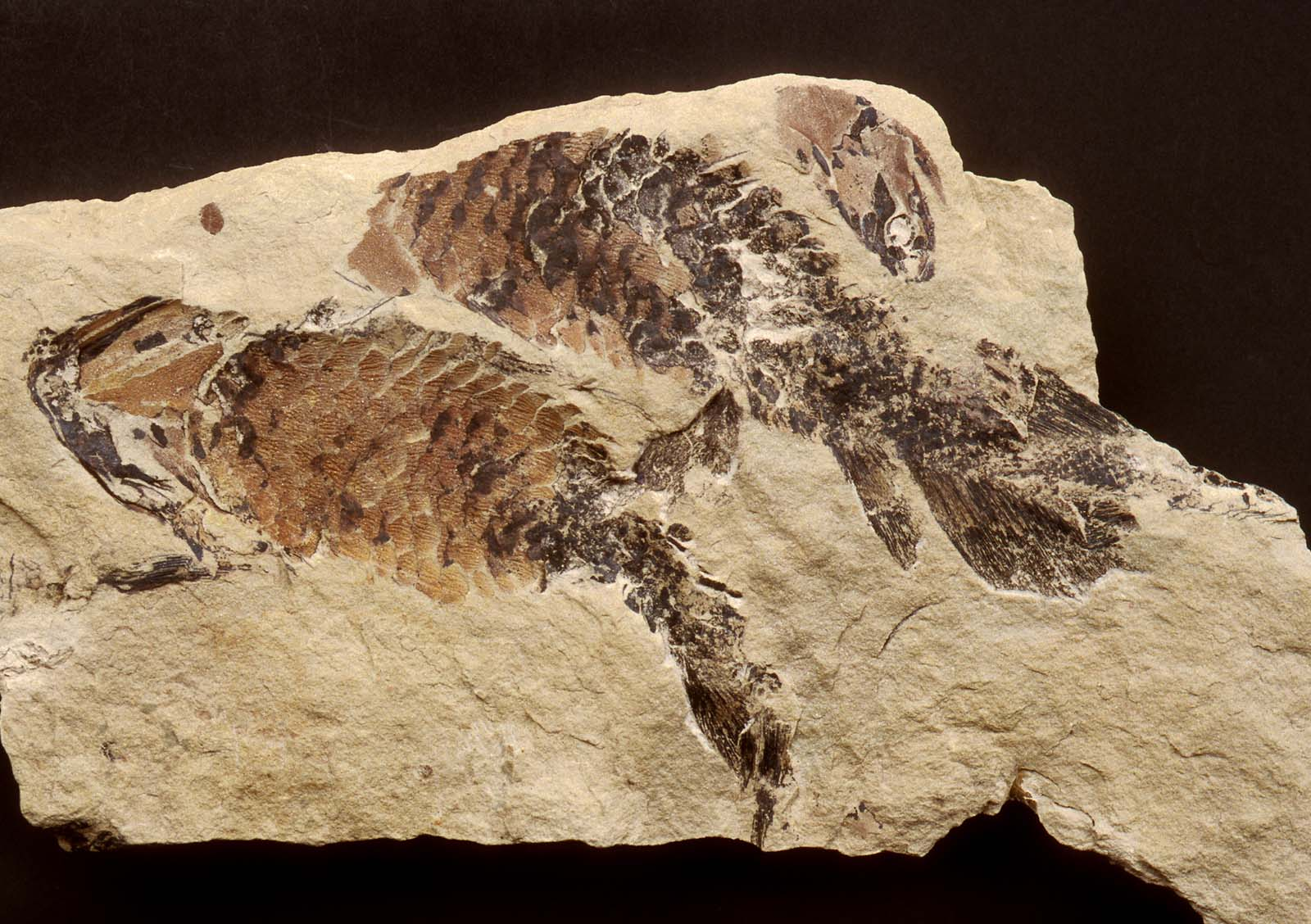 photon of a rock with fossilised remains of two fish