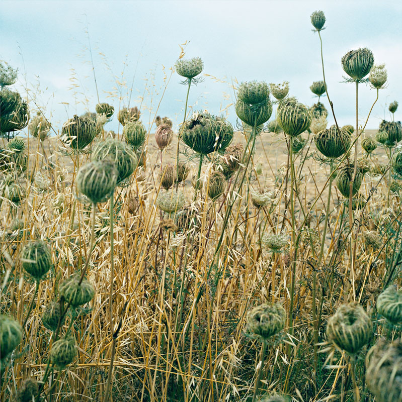 a field of hogweed and grasses