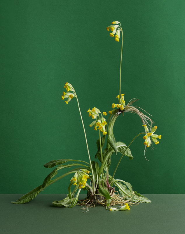an unplanted cowslip on a green background