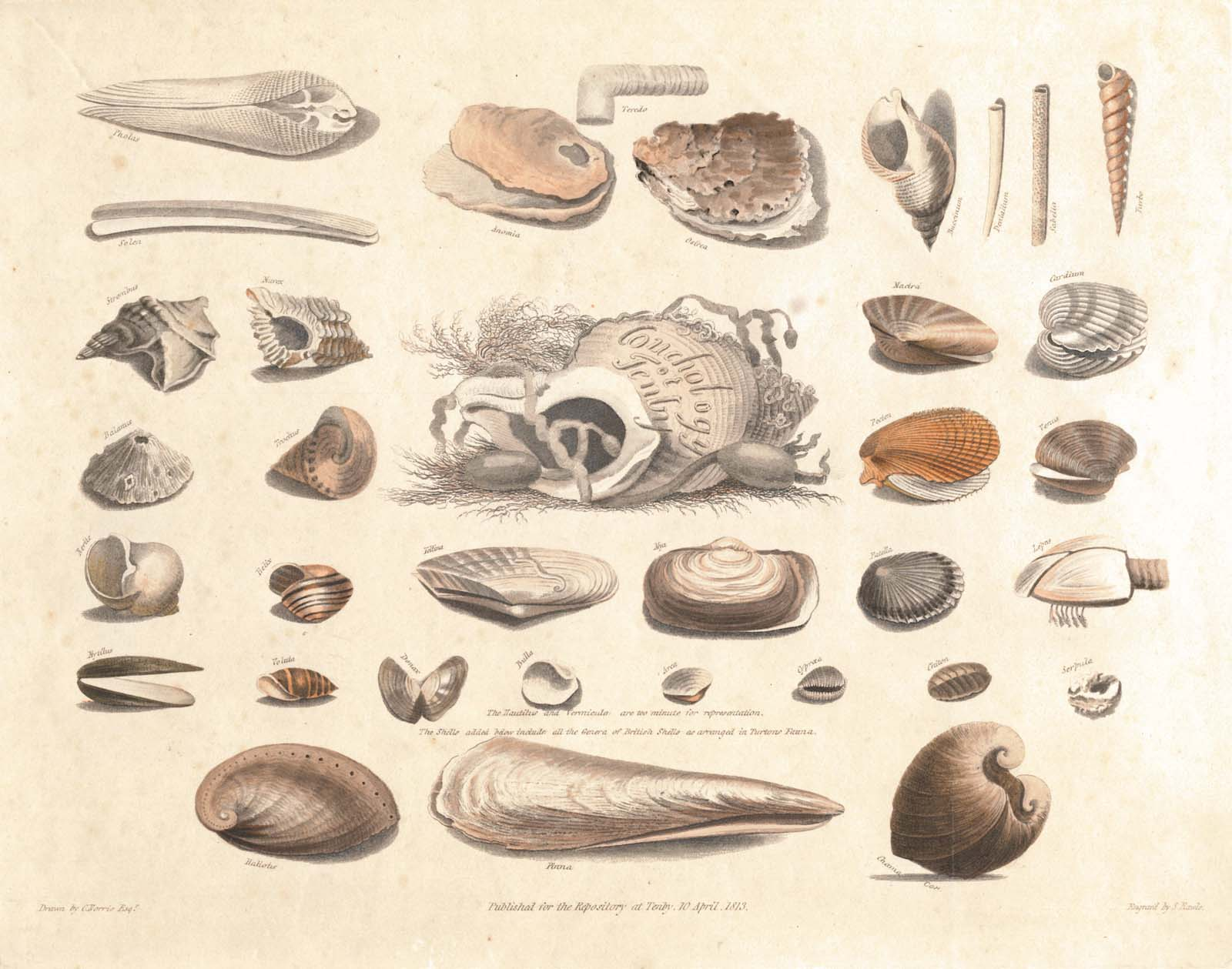 watercolour drawing of a selection of shells