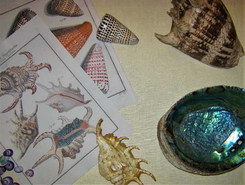 photo of shells together with drawings of shells